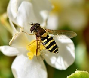 hoverfly picture