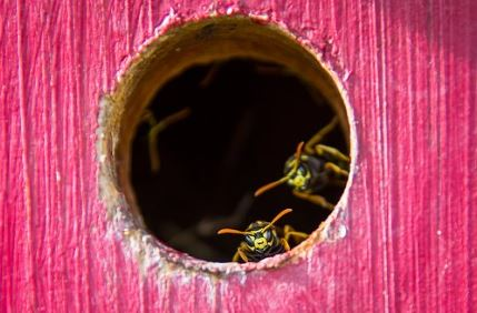 wasp nest in a birds house the wasp specialist