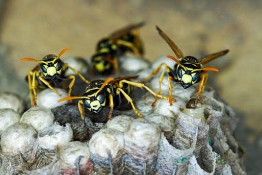 wasps building a nest the wasp specialist