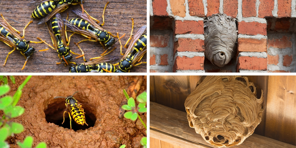 How to Locate a Wasp Nest?