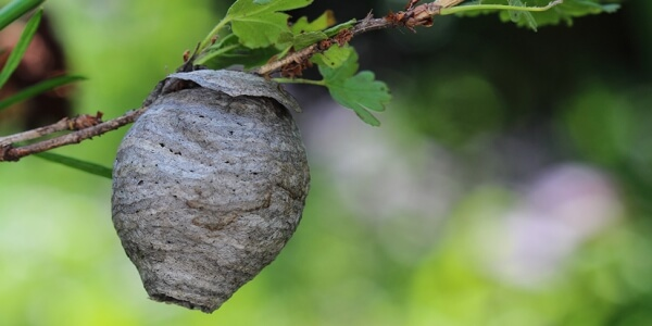 How to remove a wasp nest?