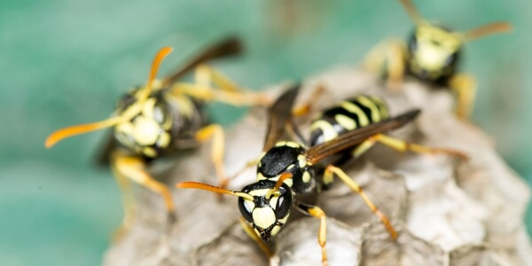 Frequently Asked Questions about Wasps and Hornets