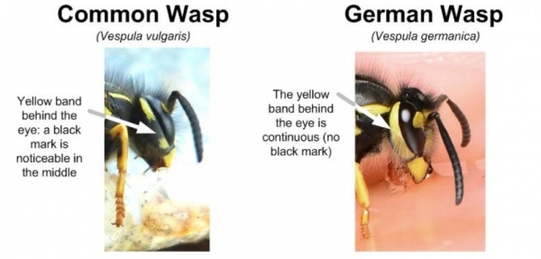 Type of Wasps in Ireland and What Attracts Them?